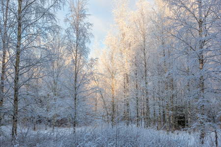 Birch forest with frost in the trees