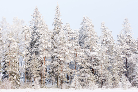 Coniferous forest on a bog with snow and frost in the winter