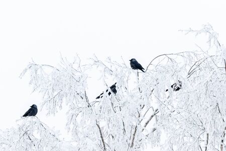 Jackdaws sitting in a tree with frost in winter