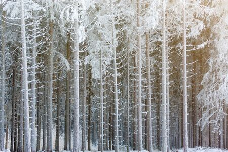 Frosty tree trunks in a spruce forest in winter Stock Photo