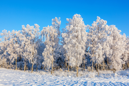 Birch forest with hoarfrost and snow