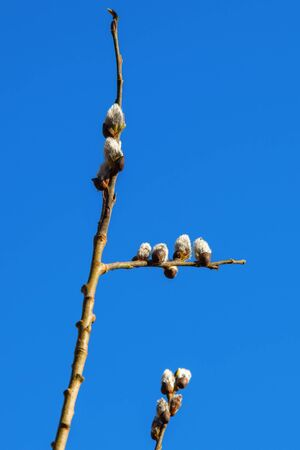 Flowering Pussy willow against blue sky in spring