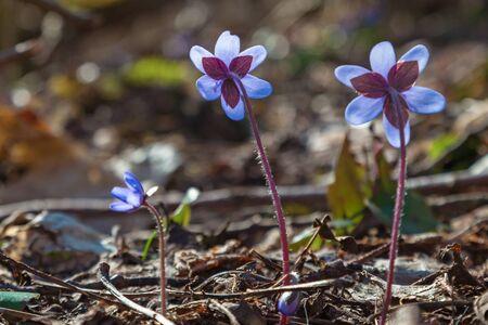 Hepatica flowers that flowering in early spring