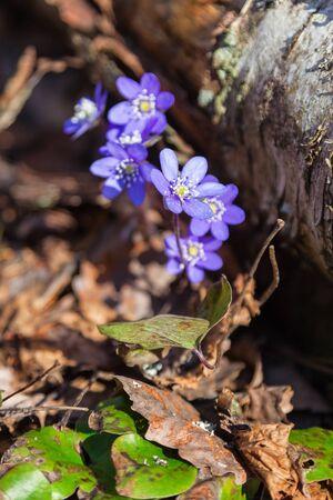 Flowering hepatica by a tree log