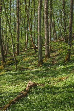 Spring feeling in the forest with flowering wood anemones Stock Photo