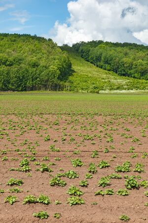Potato cultivation on a field at a mountain
