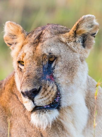 Lion with scare on her face