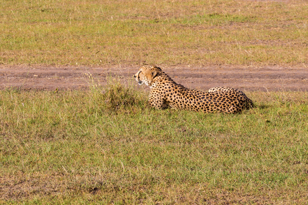 Cheetah lying in the grass and rest 스톡 콘텐츠