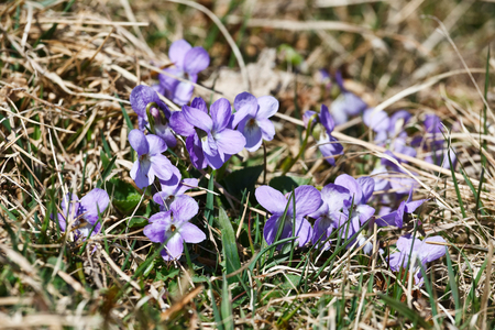 Wild violets that bloom in early spring Stock Photo