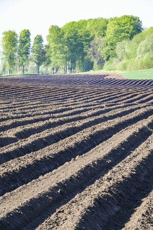 Potato field with furrows in rural landscape Archivio Fotografico - 95591470