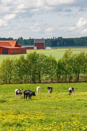 Grazing cows on a summer meadow Stock Photo