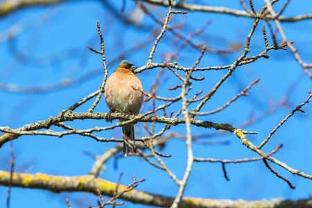 Chaffinch on a branch in the tree
