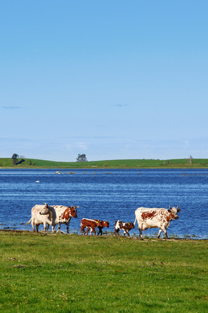 Cows walking by a lake