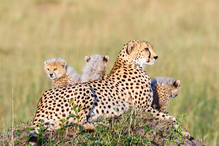 Cheetah lying and posing with her young cubs Stock Photo