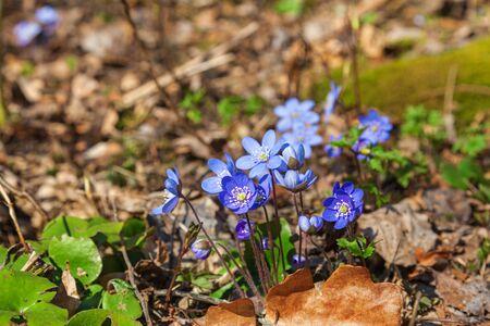 Hepatica flowers that blooming in early spring