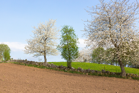Flowering cherry trees at the stone wall and a harrowed field Stok Fotoğraf