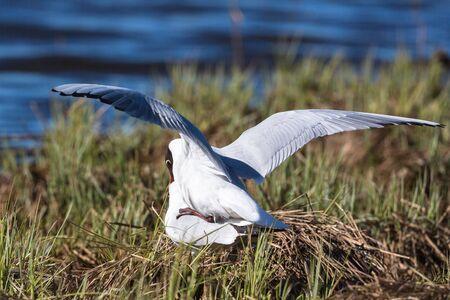 Black Headed gulls that mate