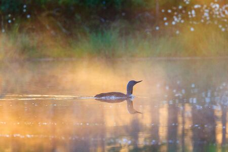 Red throated loon in a misty summer dawn