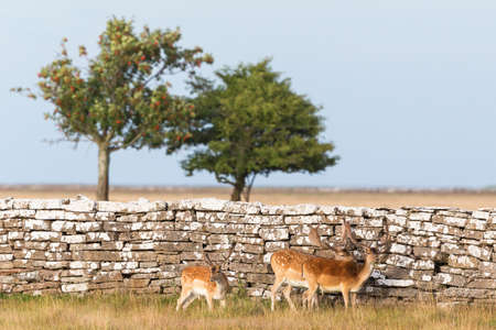 Fallow deer  bucks standing at a stone wall Stock Photo