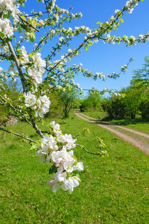 Flowers on a tree branch at a meadow with a dirt road