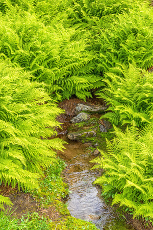 Fern bushes and a small creek in the nature Фото со стока