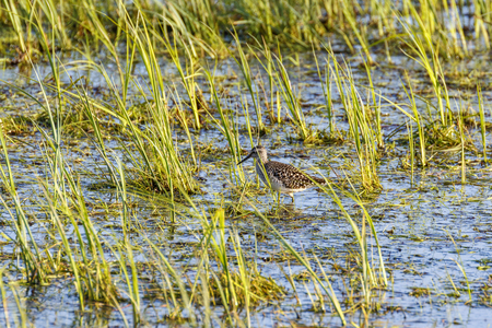 Walking Wood Sandpiper in a wetland with grass straw in spring