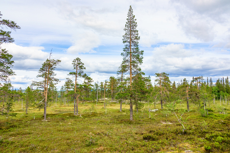 Pine woodland in the wilderness Stock Photo