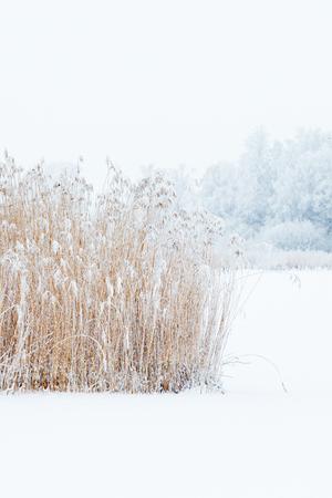 Frozen reedbed in winter landscape