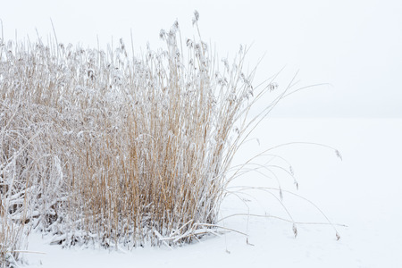 Reedbed in the snowy landscape