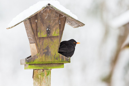 Blackbird sitting on a bird feeding