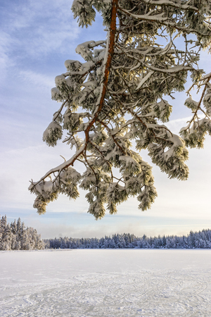 Pine tree branch at a lake with ice in the winter Reklamní fotografie