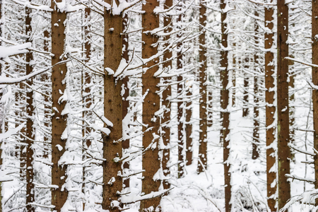 Spruce tree trunks in a forest at winter