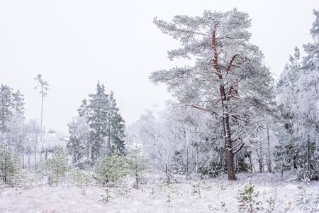 Old pine tree forest at a bog with fresh snow