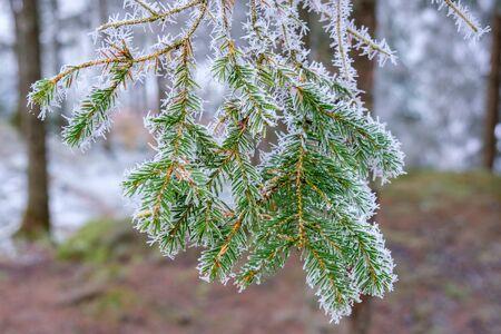 Frosty spruce needles on a branch