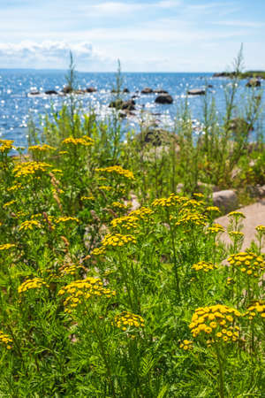 Beautiful Tansy flowers at a beach in sunshine