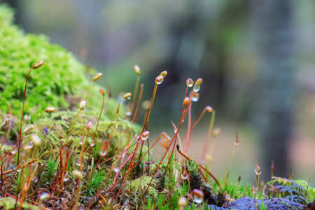 Moss with dew drops in the forest