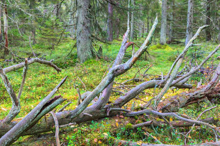 Fallen tree in an old-growth forest