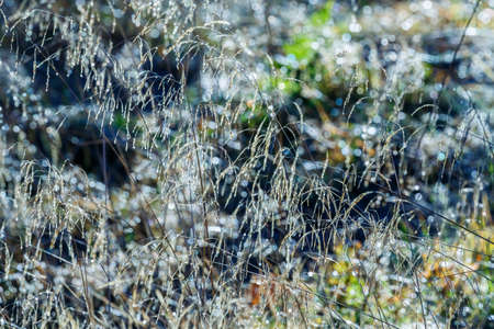Blades of grass with dew backlit Stock Photo