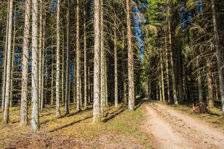 Dirt road in a spruce forest a summer day Reklamní fotografie