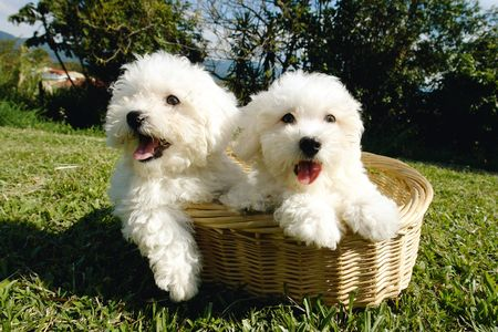 purebreed:                                Two purebreed maltese puppies in a basket