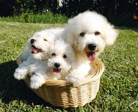 bichon:               Purebreed bichon frise mother and puppies