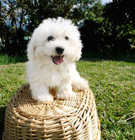 purebreed:                    Purebreed bichon frise puppy