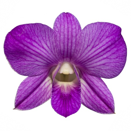 Single purple orchid isolate photo