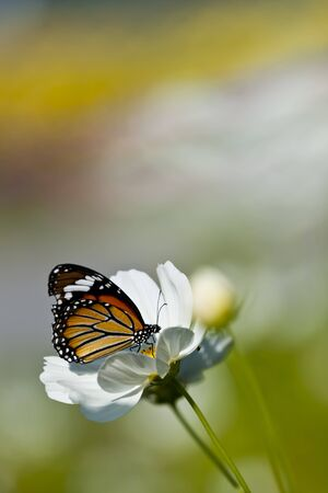 Monarch butterfly resting on a white flower  photo