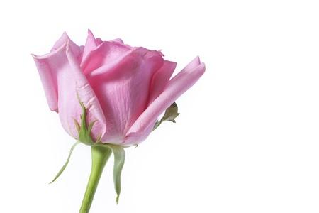 pink rose: Pink rose on white background