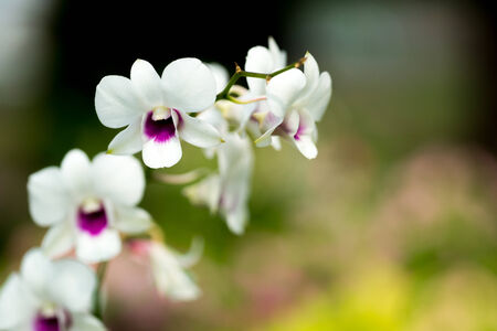 Dendrobium orchid white purple in the nature photo