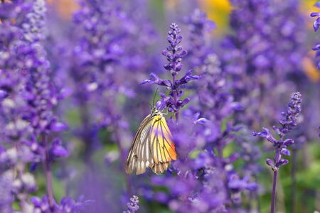 Monarch Butterfly on the Lavender in Garden.  photo