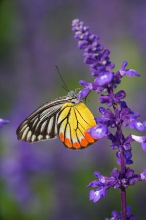 Monarch Butterfly on the Lavender in Garden.