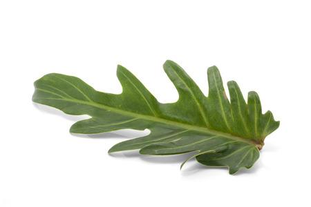 xanadu: Philodendron Xanadu leaf isolated on white background
