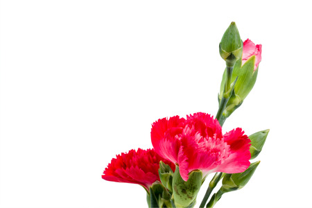 red  carnation: Close up Red carnation in vase isolated on white background